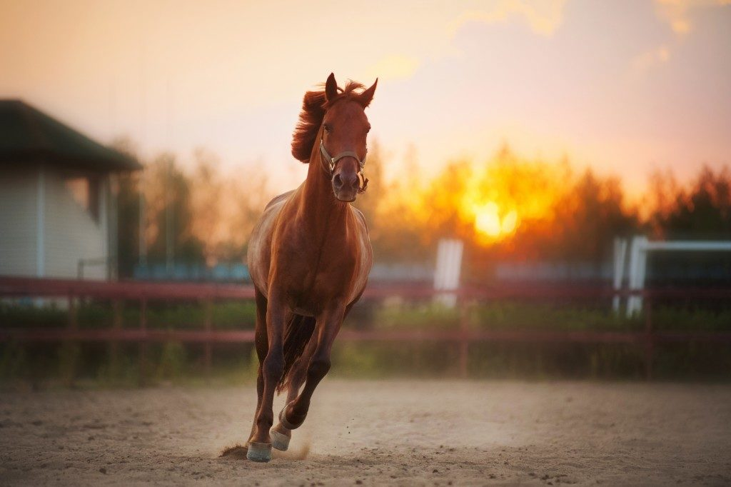 Brown horse running during sunset